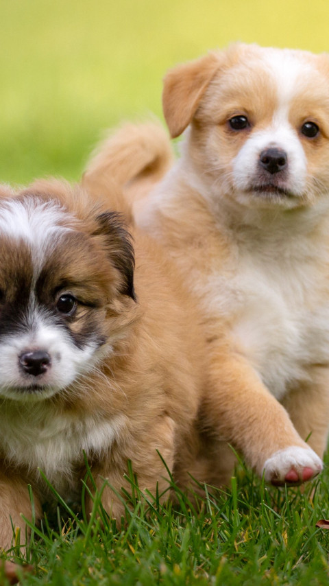 2 puppies wallpaper 480x854