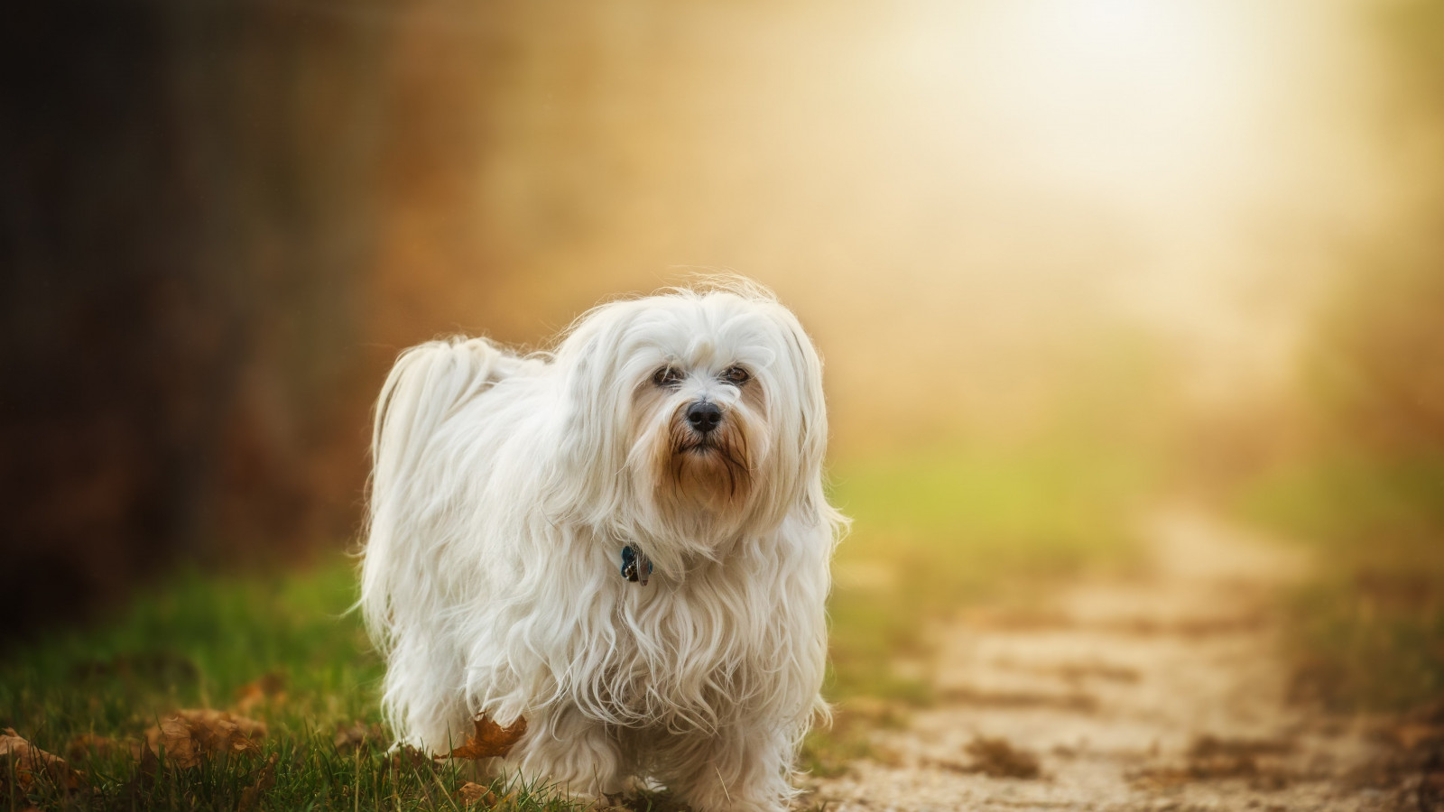 Havanese dog breed wallpaper 1600x900