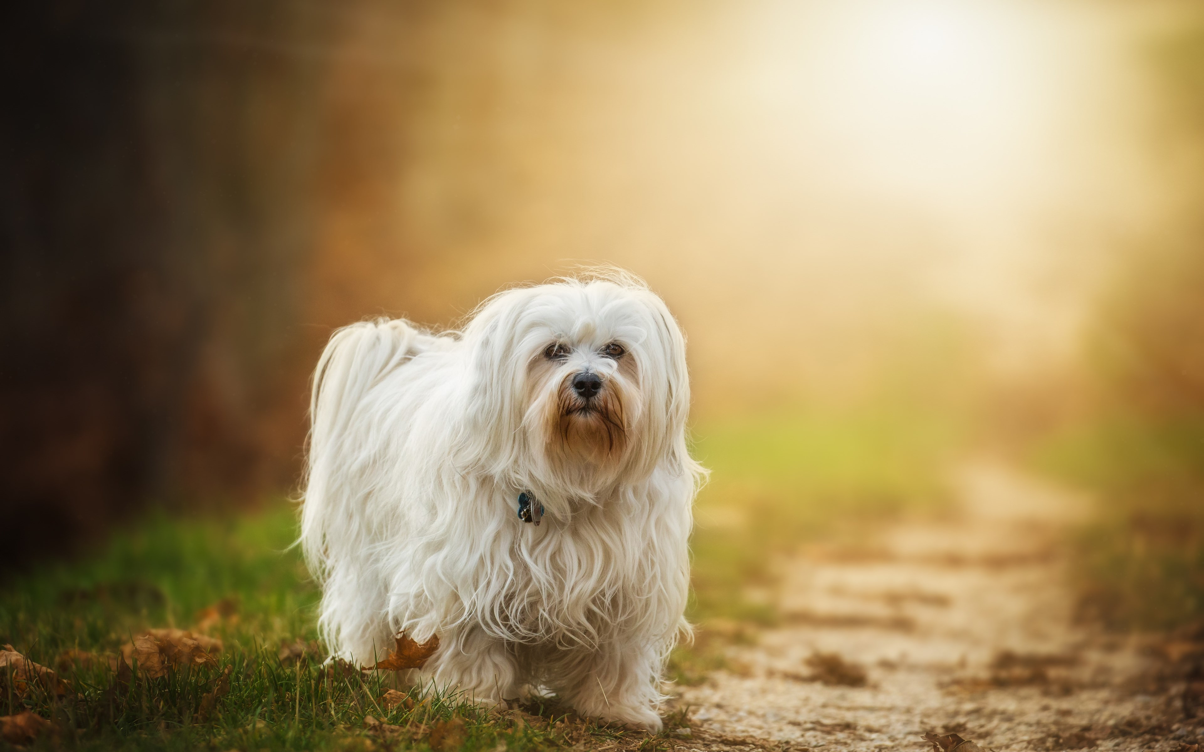 Havanese dog breed | 3840x2400 wallpaper