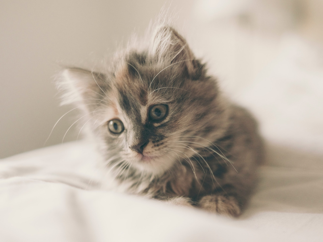 Fluffy kitten wallpaper 1280x960
