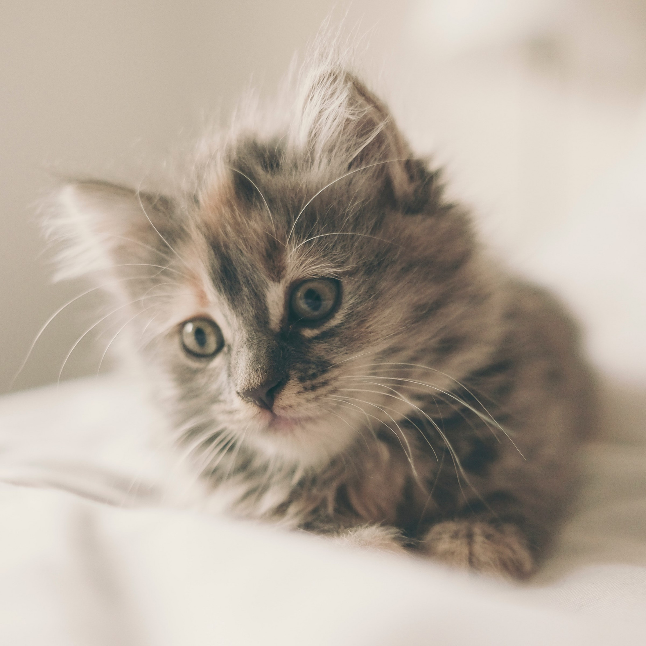 Fluffy kitten wallpaper 2224x2224