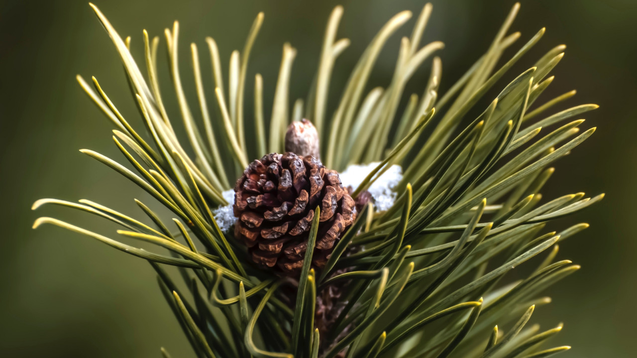 Cone and pine needles wallpaper 1280x720