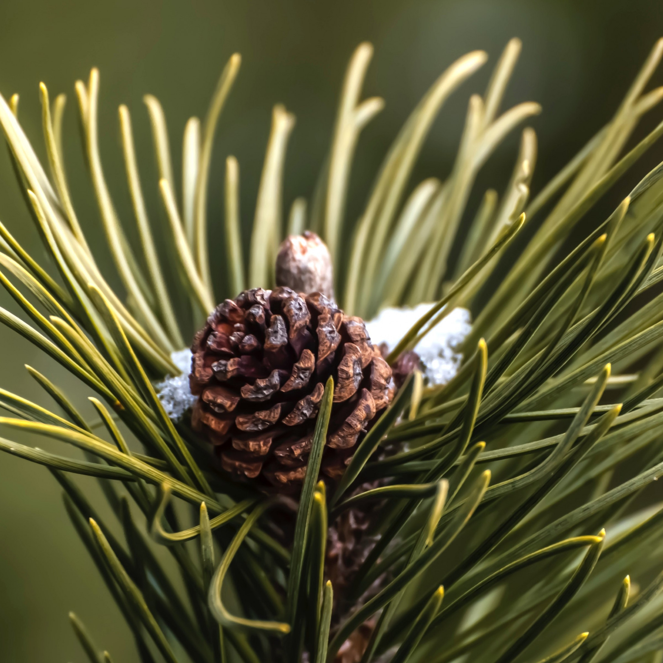 Cone and pine needles wallpaper 2224x2224