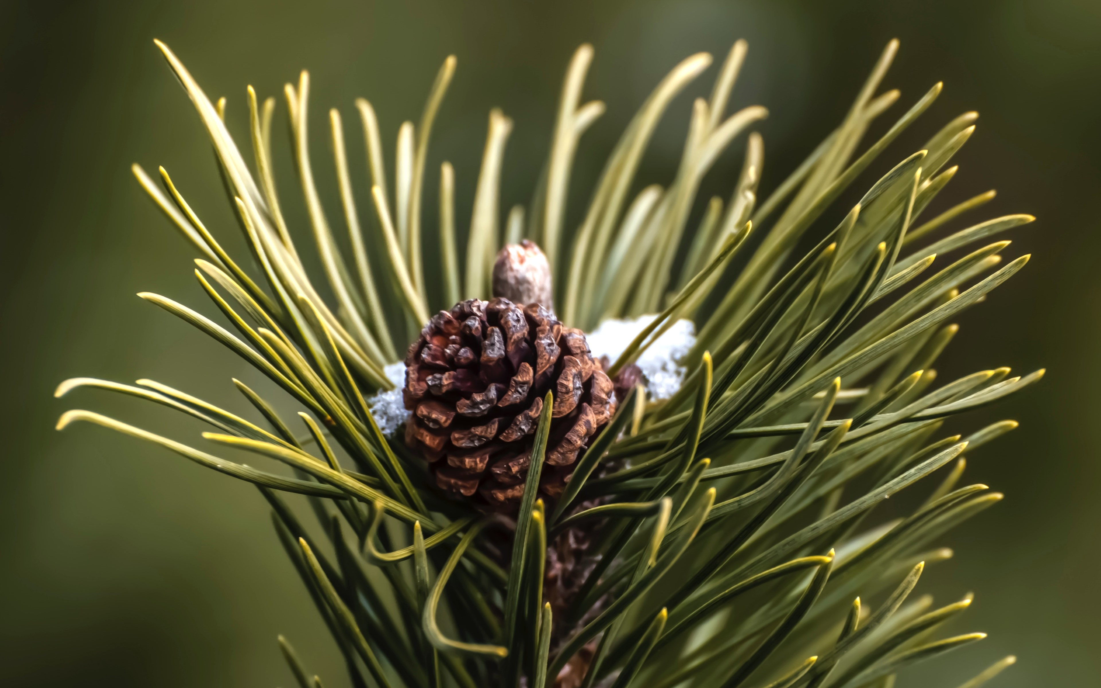 Cone and pine needles wallpaper 3840x2400