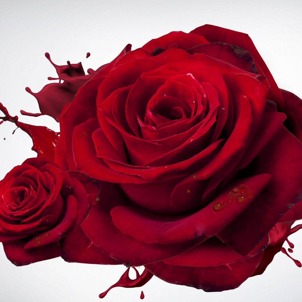 The most beautiful red roses wallpaper 1024x1024