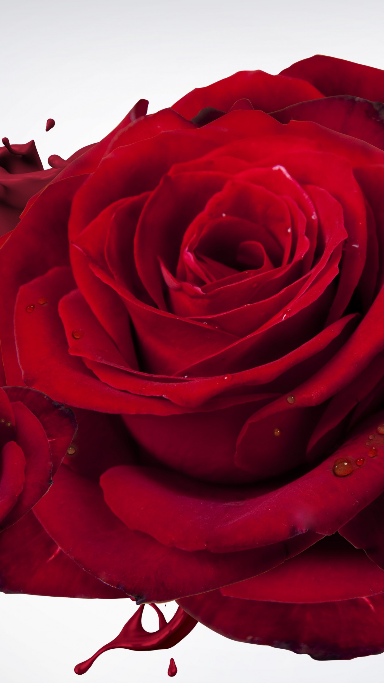 The most beautiful red roses | 1242x2208 wallpaper