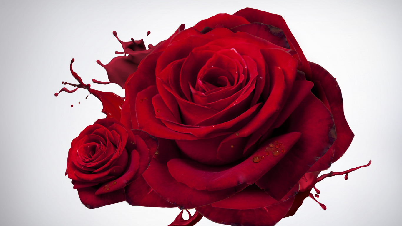 The most beautiful red roses wallpaper 1366x768