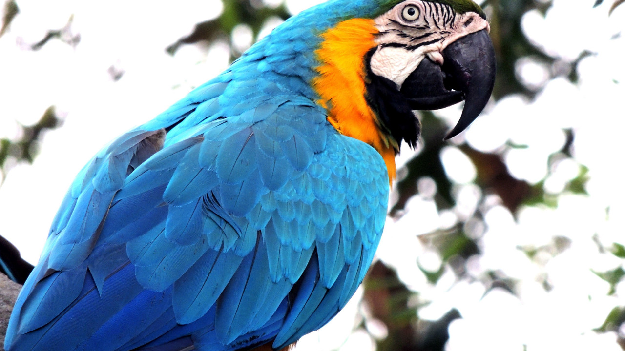 Blue macaw | 1280x720 wallpaper