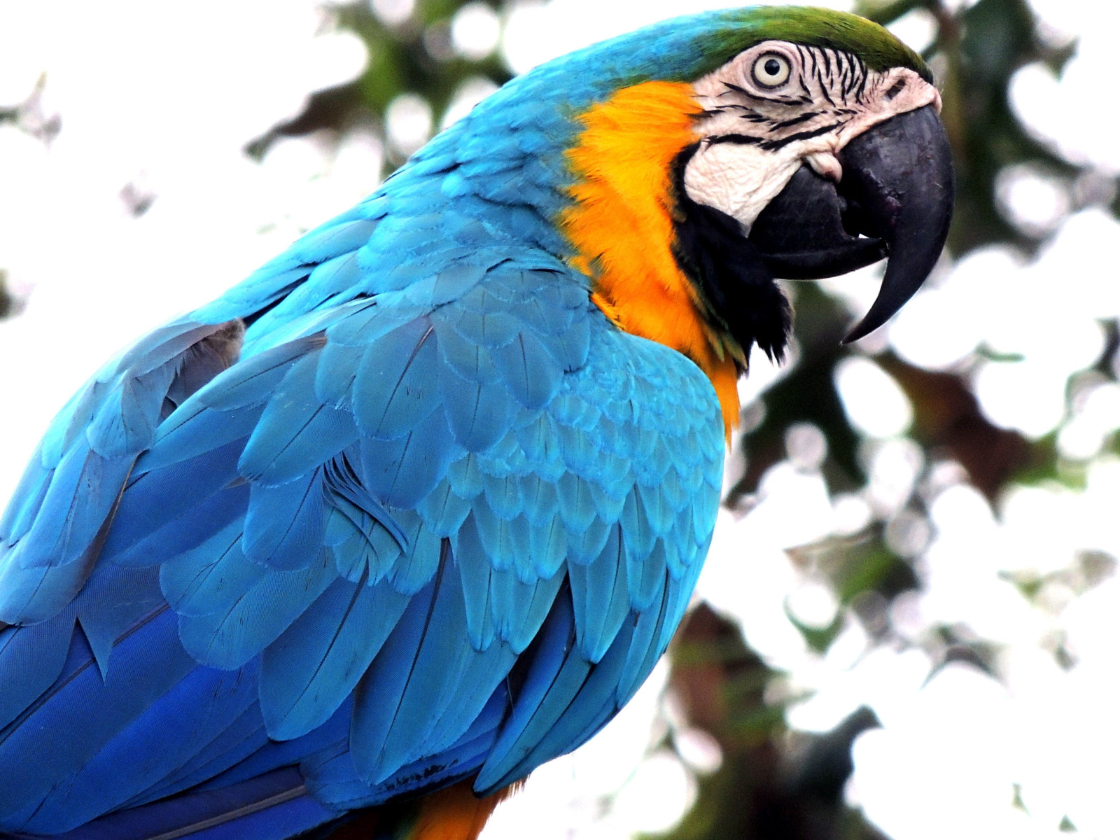 Blue macaw wallpaper 1600x1200