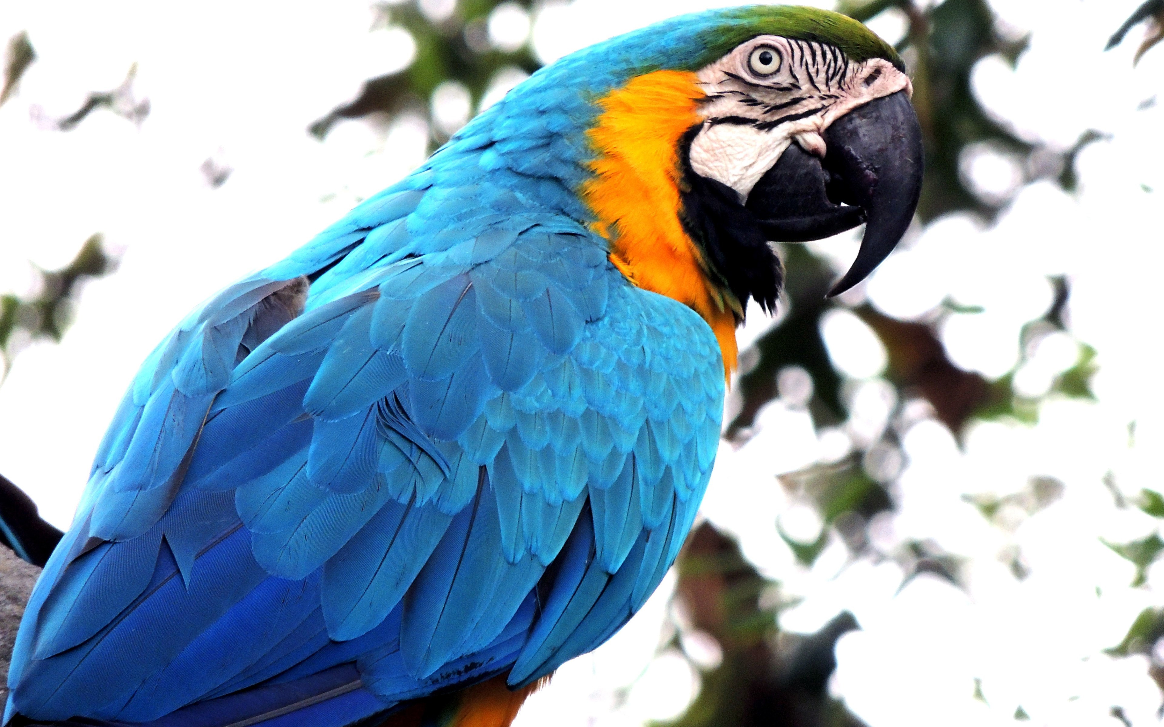 Blue macaw wallpaper 3840x2400