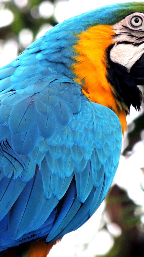 Blue macaw wallpaper 480x854