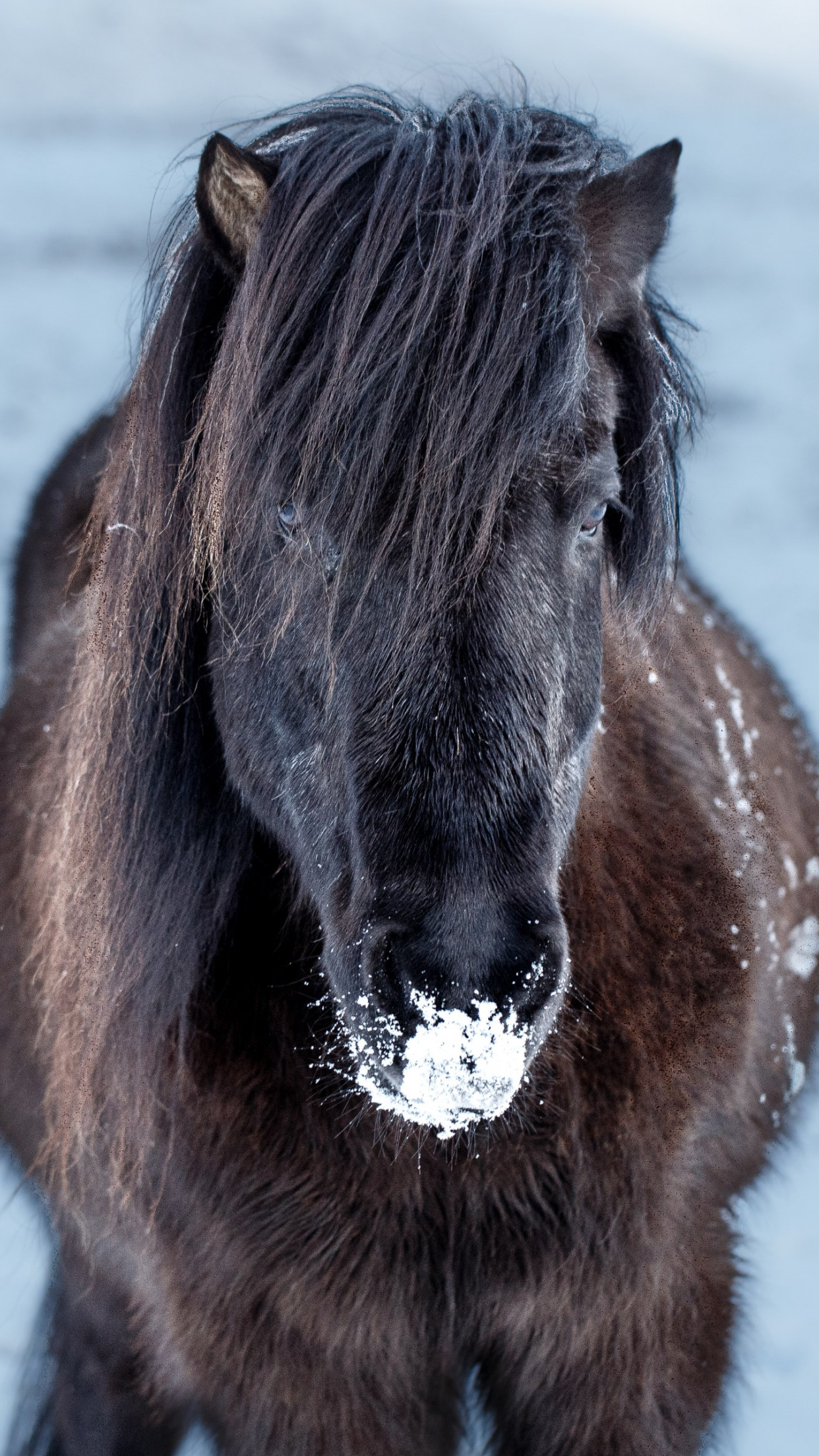 Icelandic horse wallpaper 1242x2208