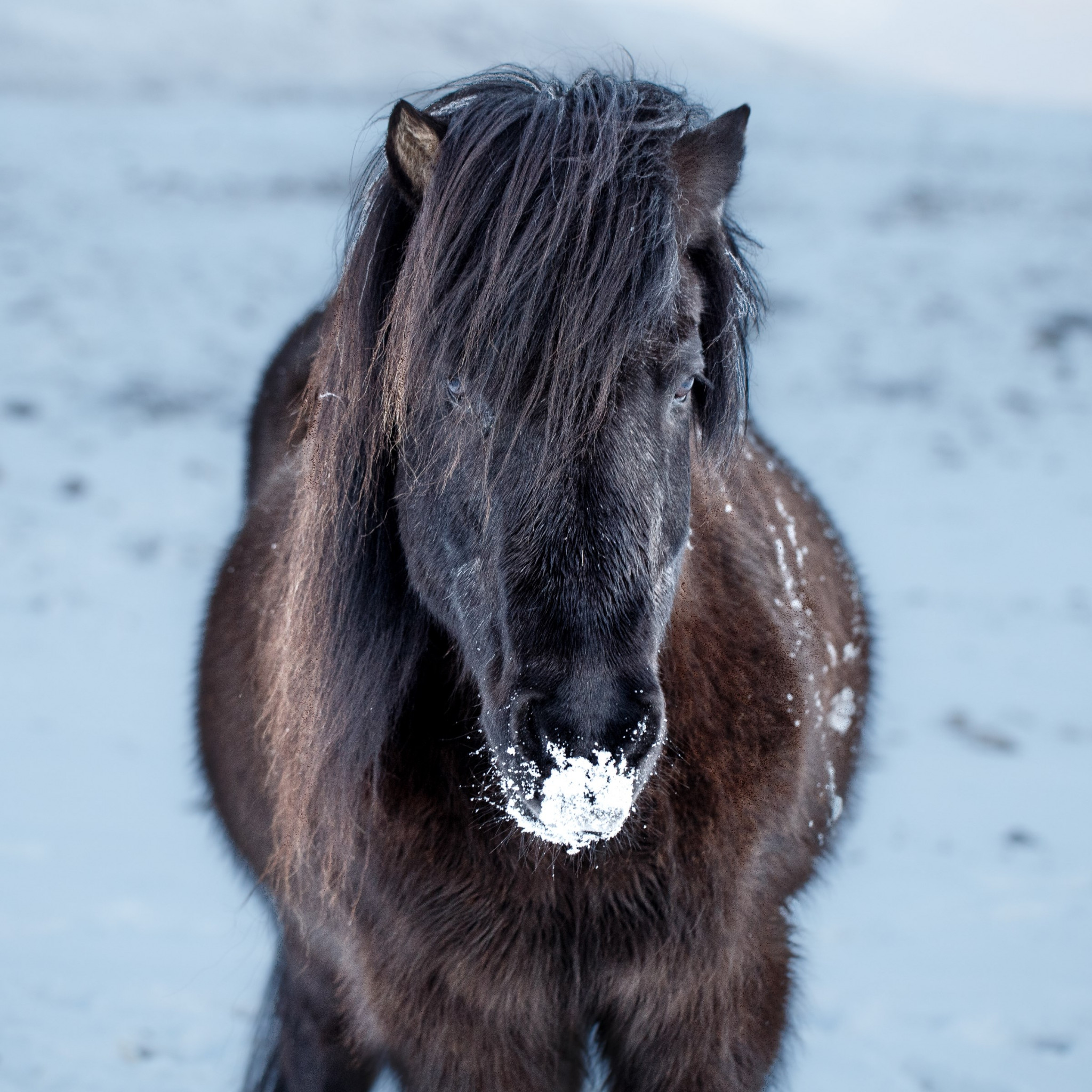 Icelandic horse wallpaper 2048x2048
