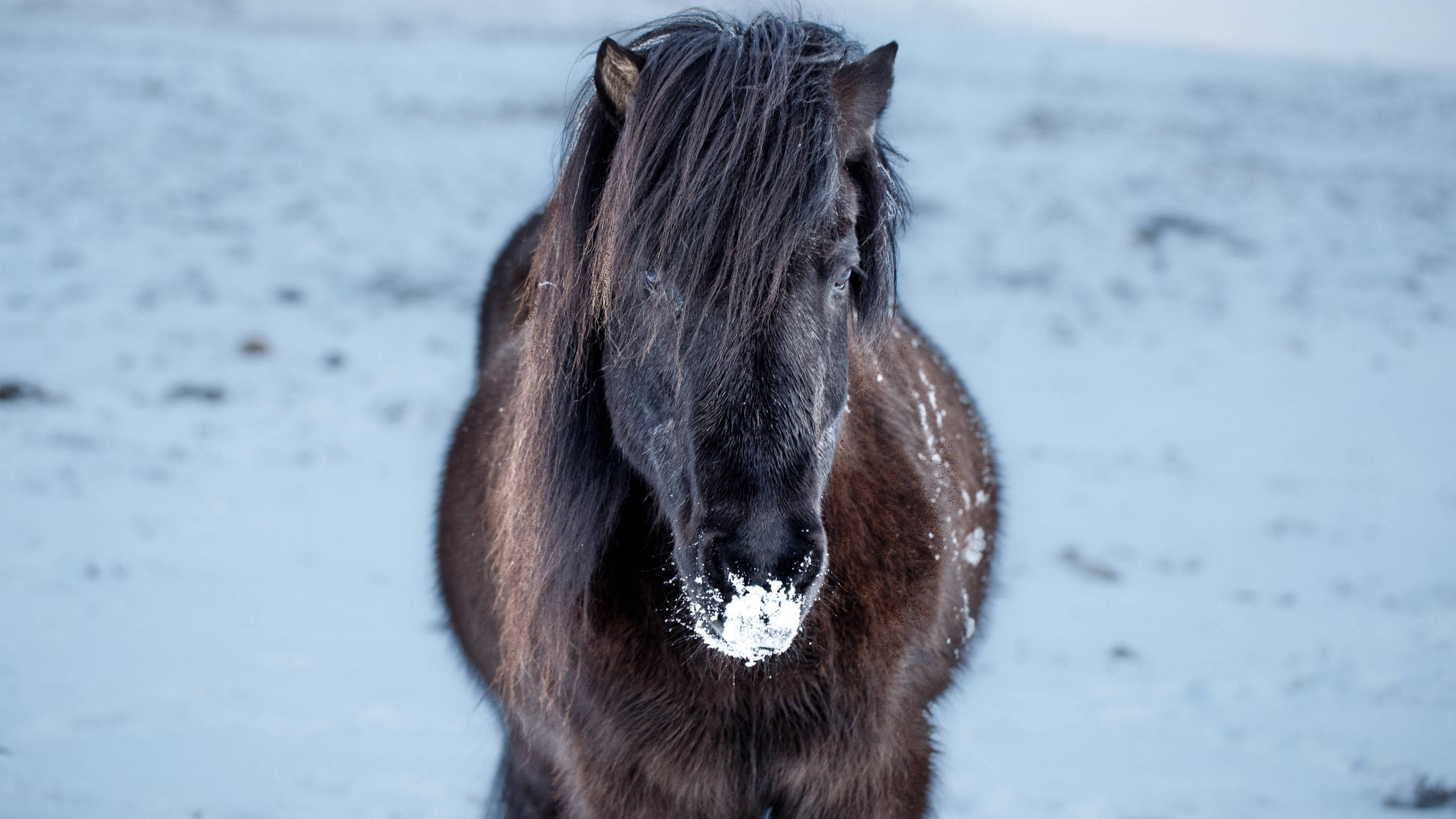 Icelandic horse | 2560x1440 wallpaper