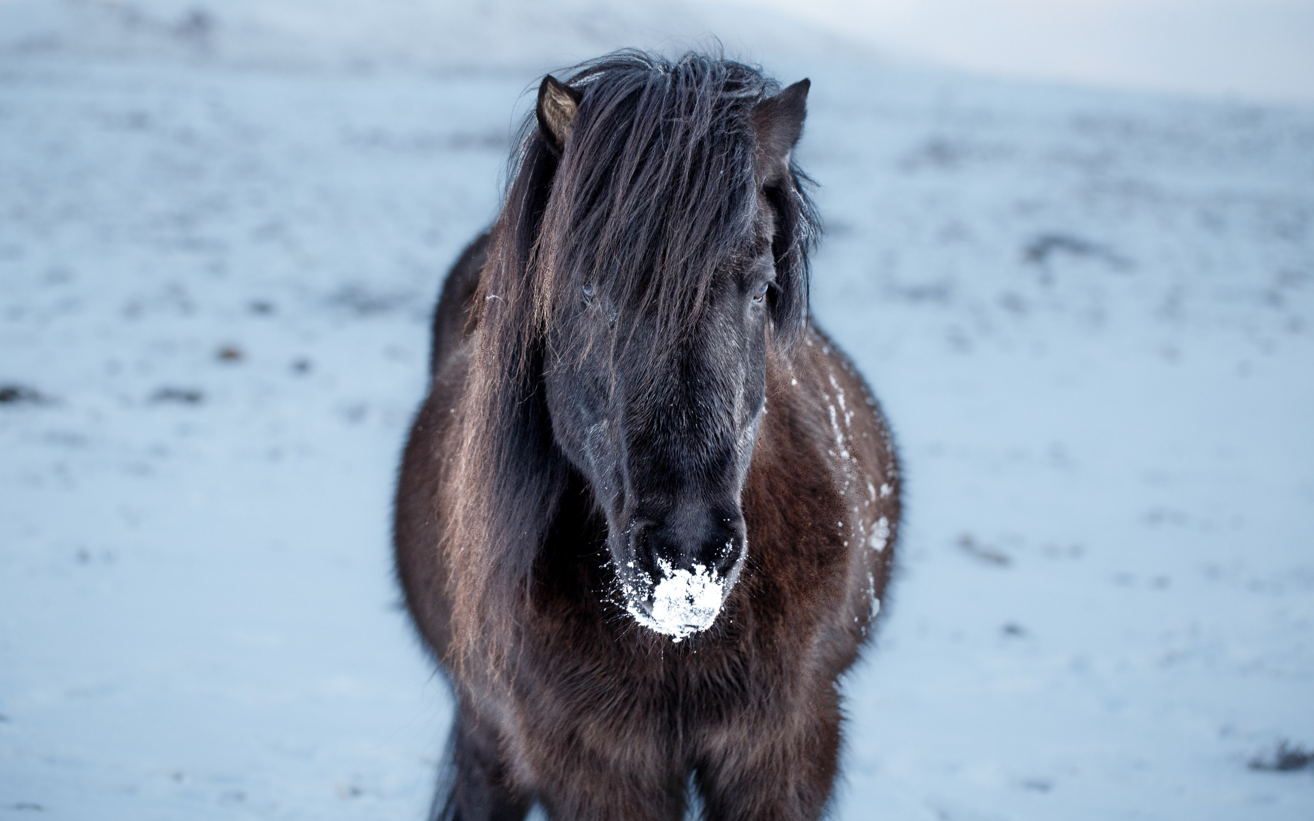 Icelandic horse wallpaper 2560x1600