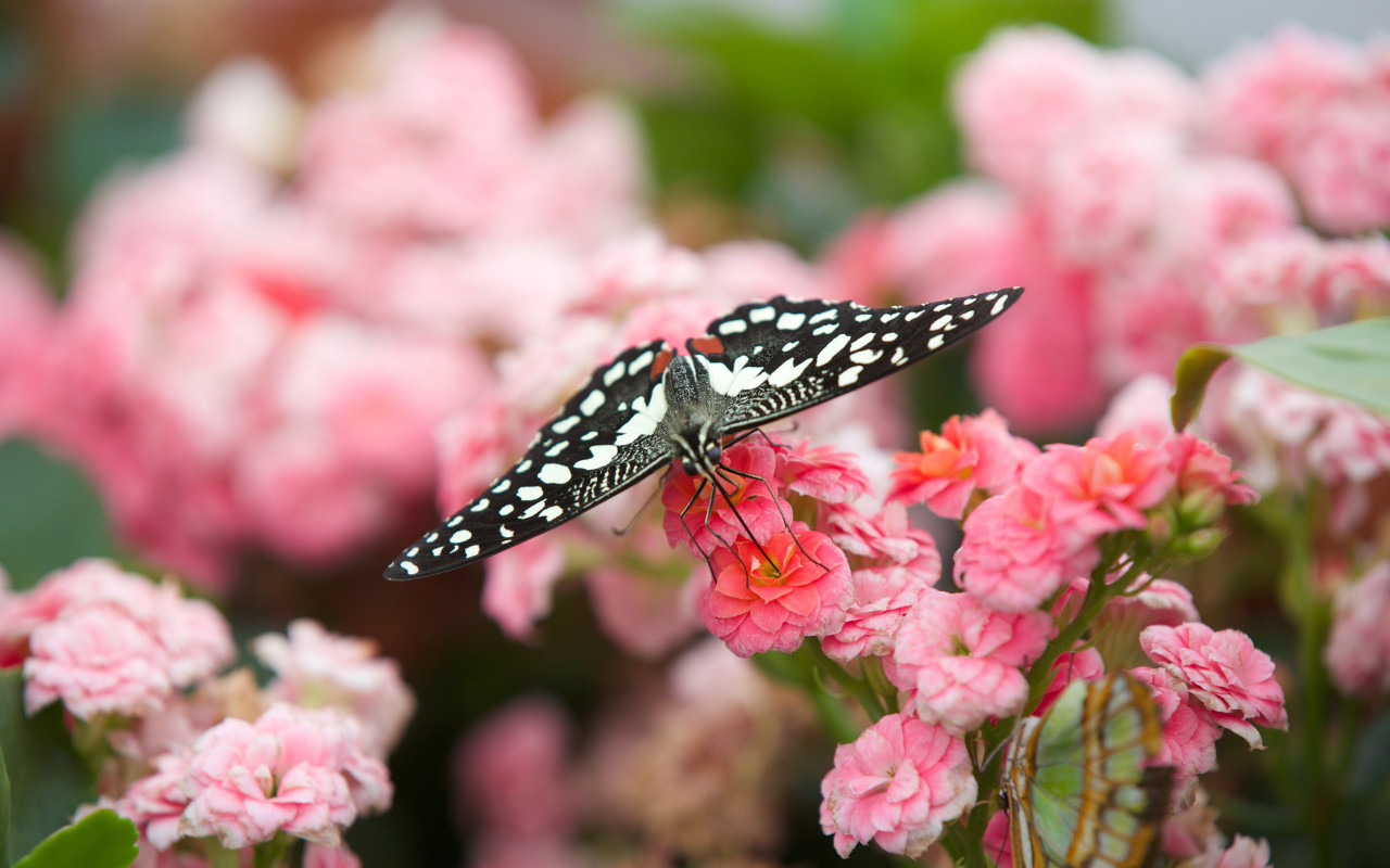 Black butterfly on pink flowers wallpaper 1280x800