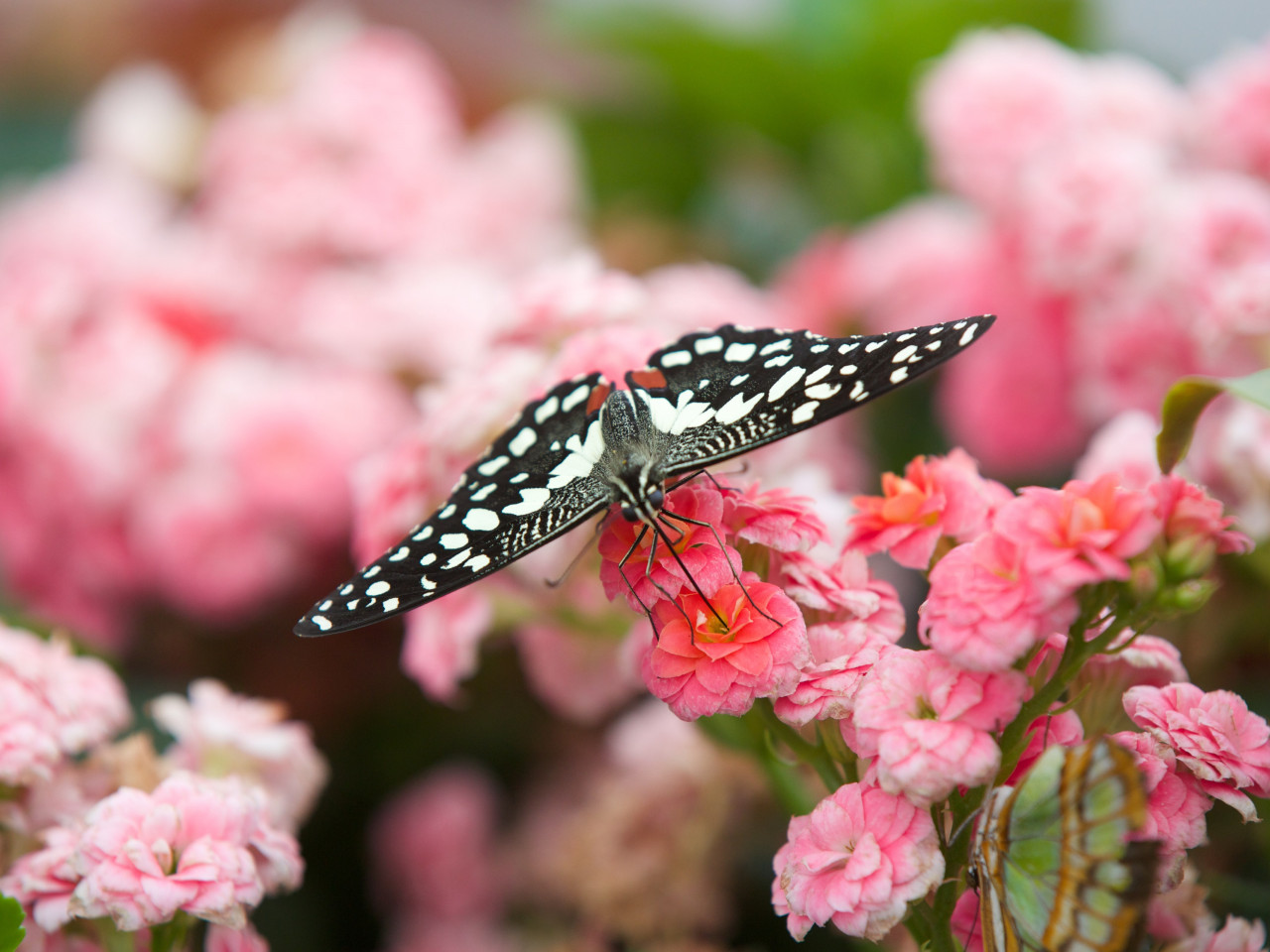 Black butterfly on pink flowers wallpaper 1280x960