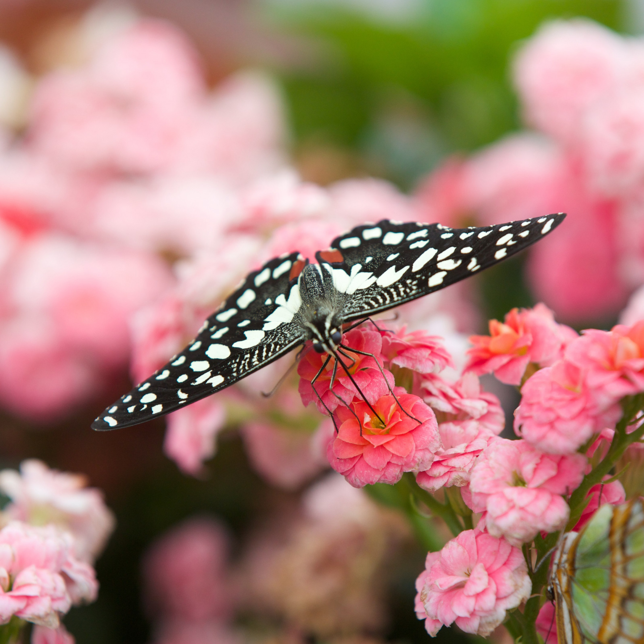 Black butterfly on pink flowers wallpaper 2048x2048