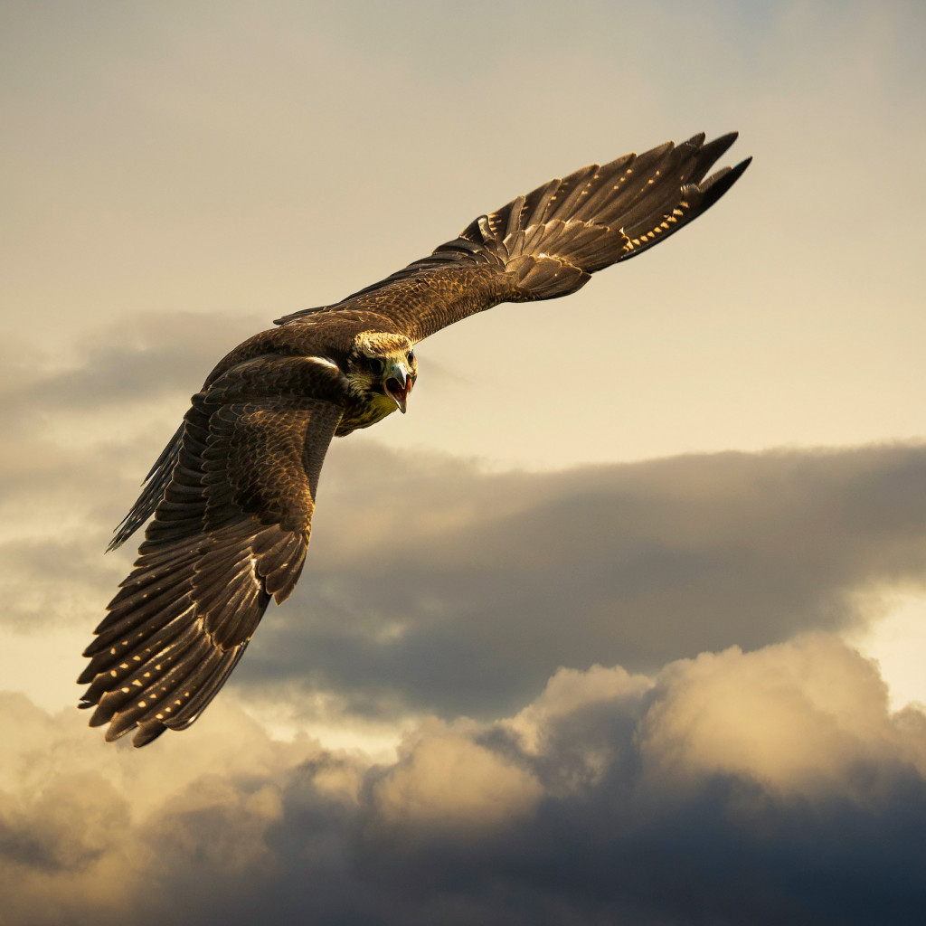 Flying hawk wallpaper 1024x1024