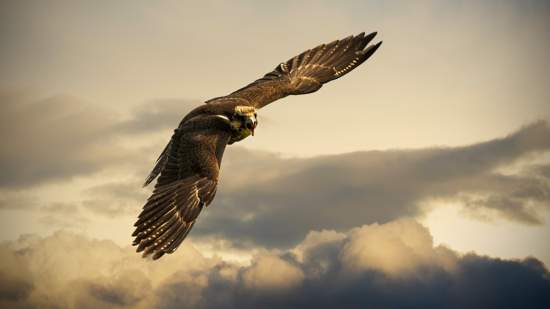 Flying hawk wallpaper 1920x1080