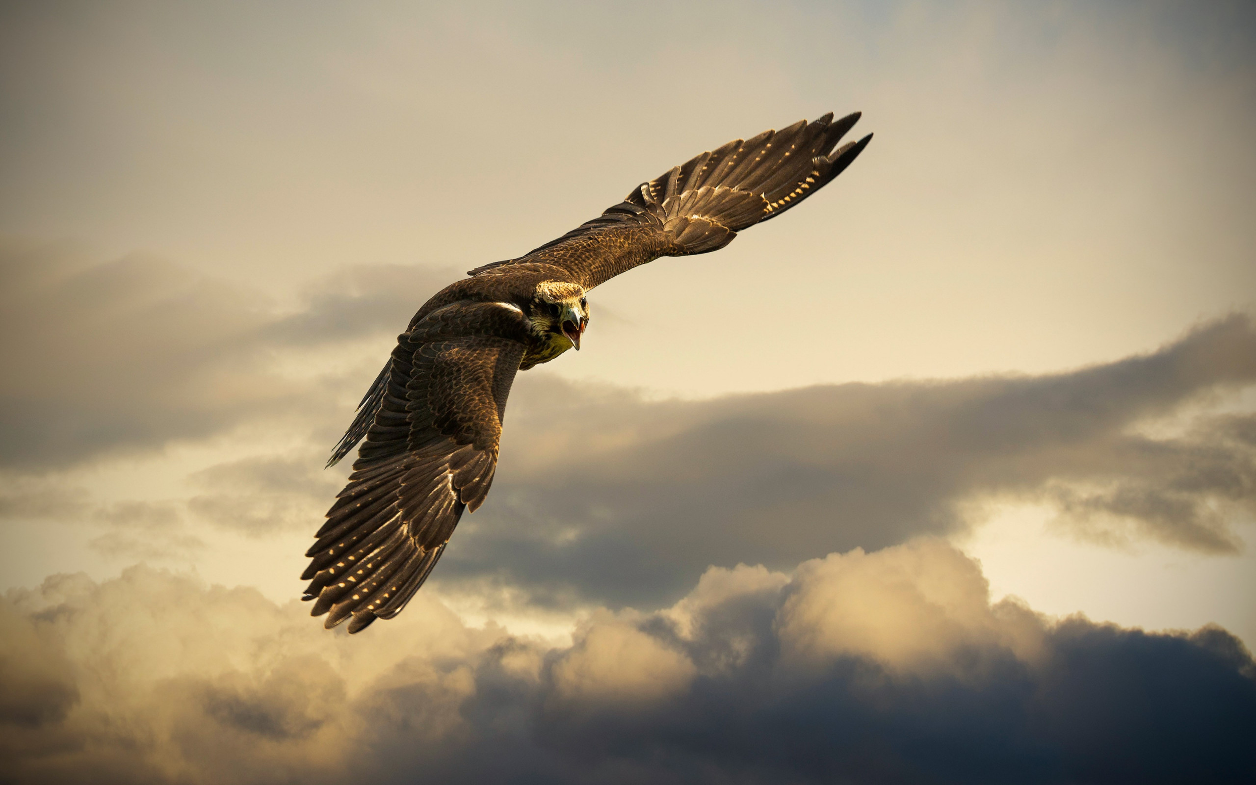 Flying hawk | 2560x1600 wallpaper