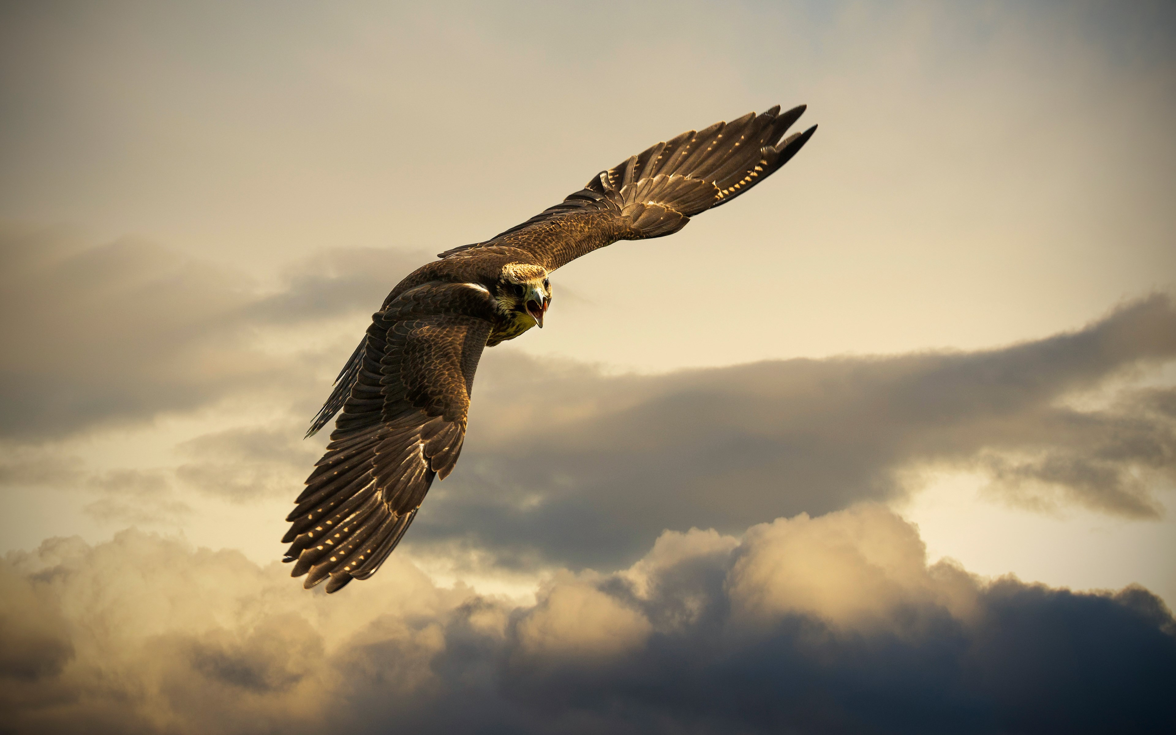 Flying hawk | 3840x2400 wallpaper