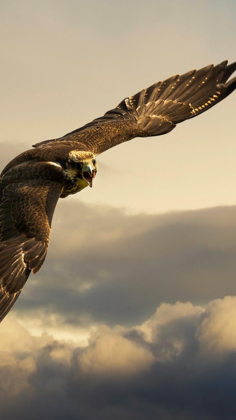 Download wallpaper Flying hawk 20x20