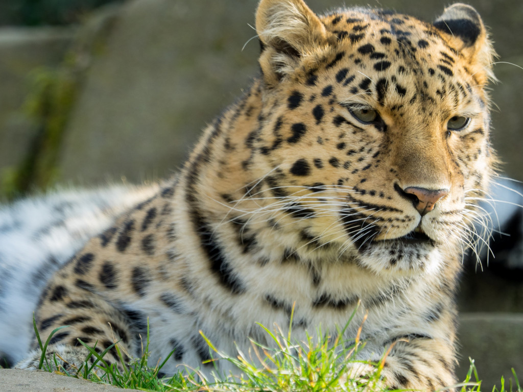 Amur leopard | 1024x768 wallpaper