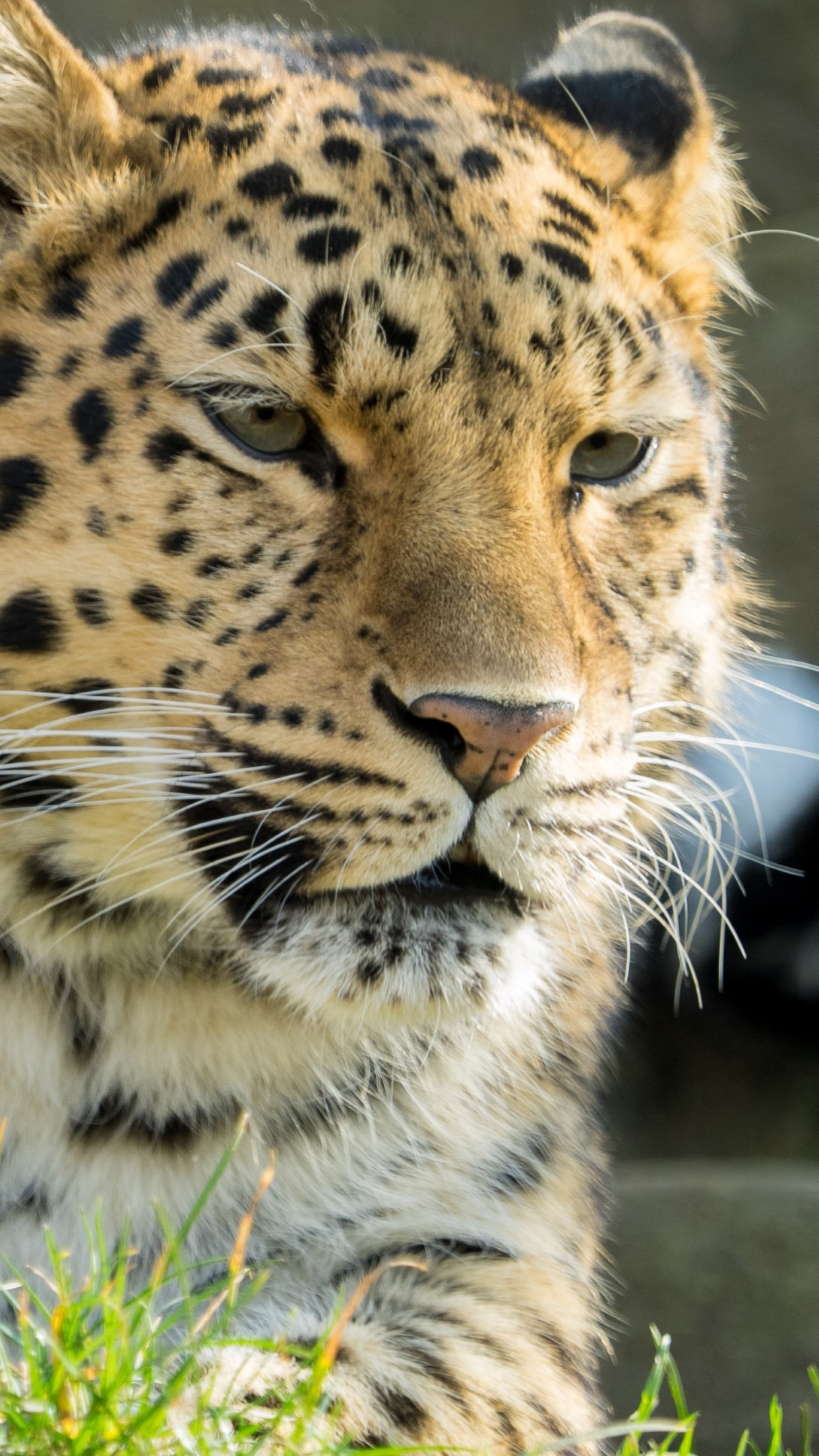 Amur leopard wallpaper 1242x2208