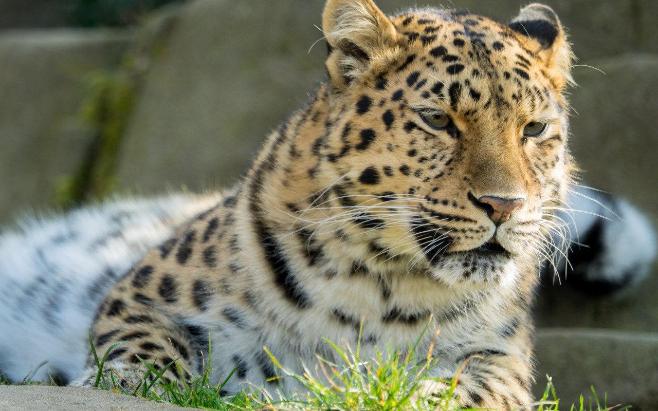 Amur leopard wallpaper 1280x800