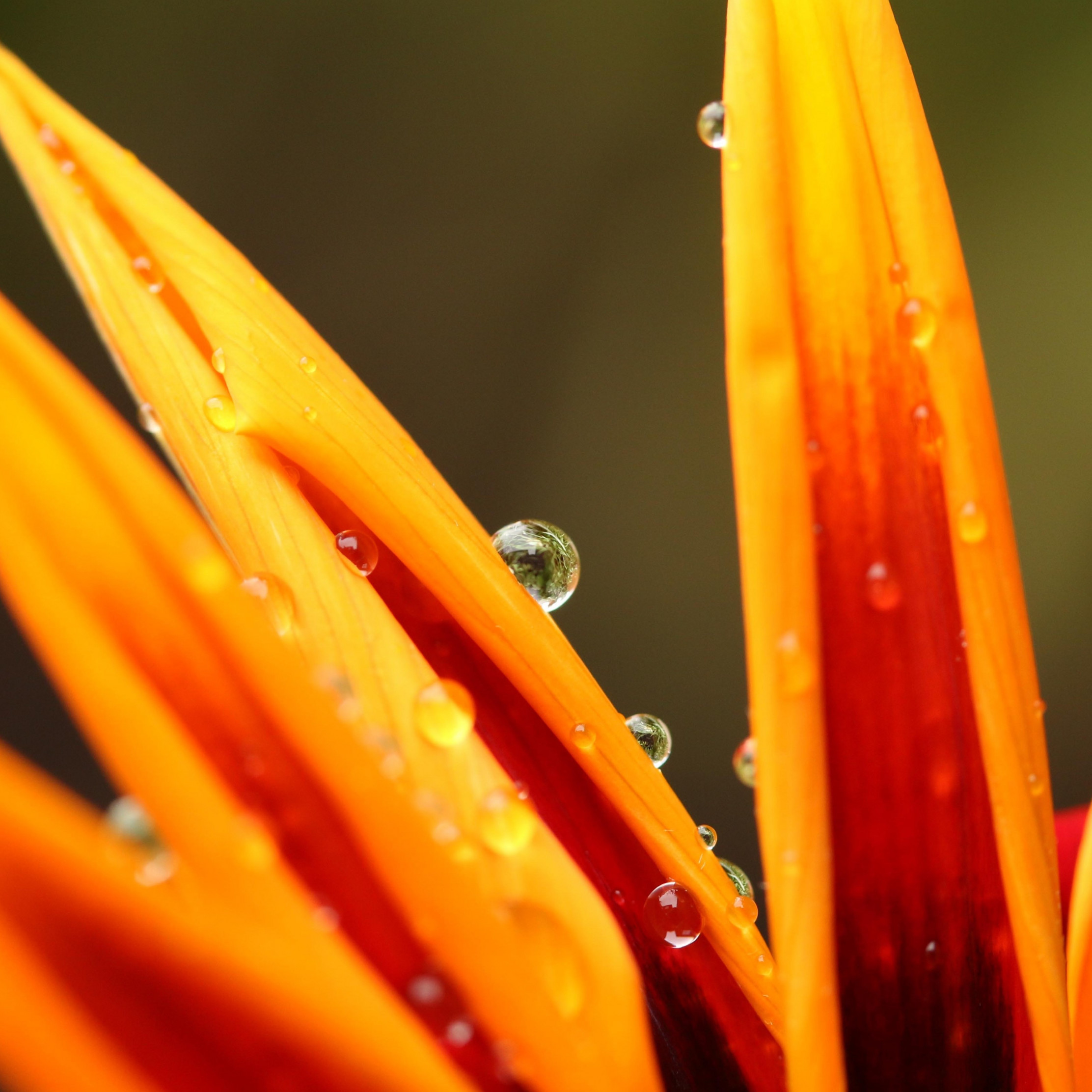 Dew on orange petals | 2224x2224 wallpaper