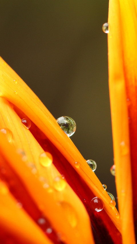 Dew on orange petals | 480x854 wallpaper