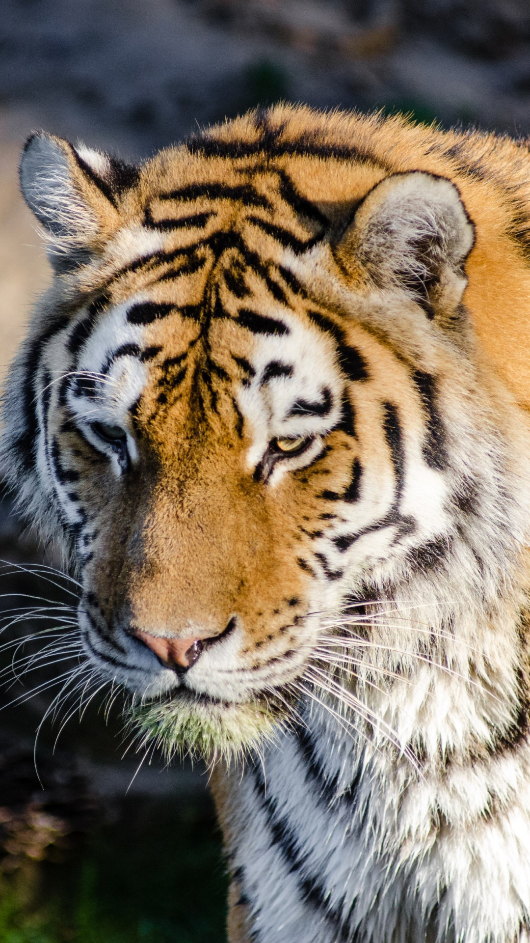 Siberian tiger at Zoo wallpaper 1080x1920