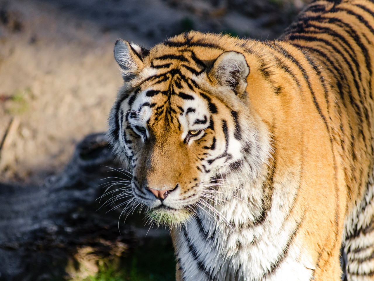 Siberian tiger at Zoo wallpaper 1280x960