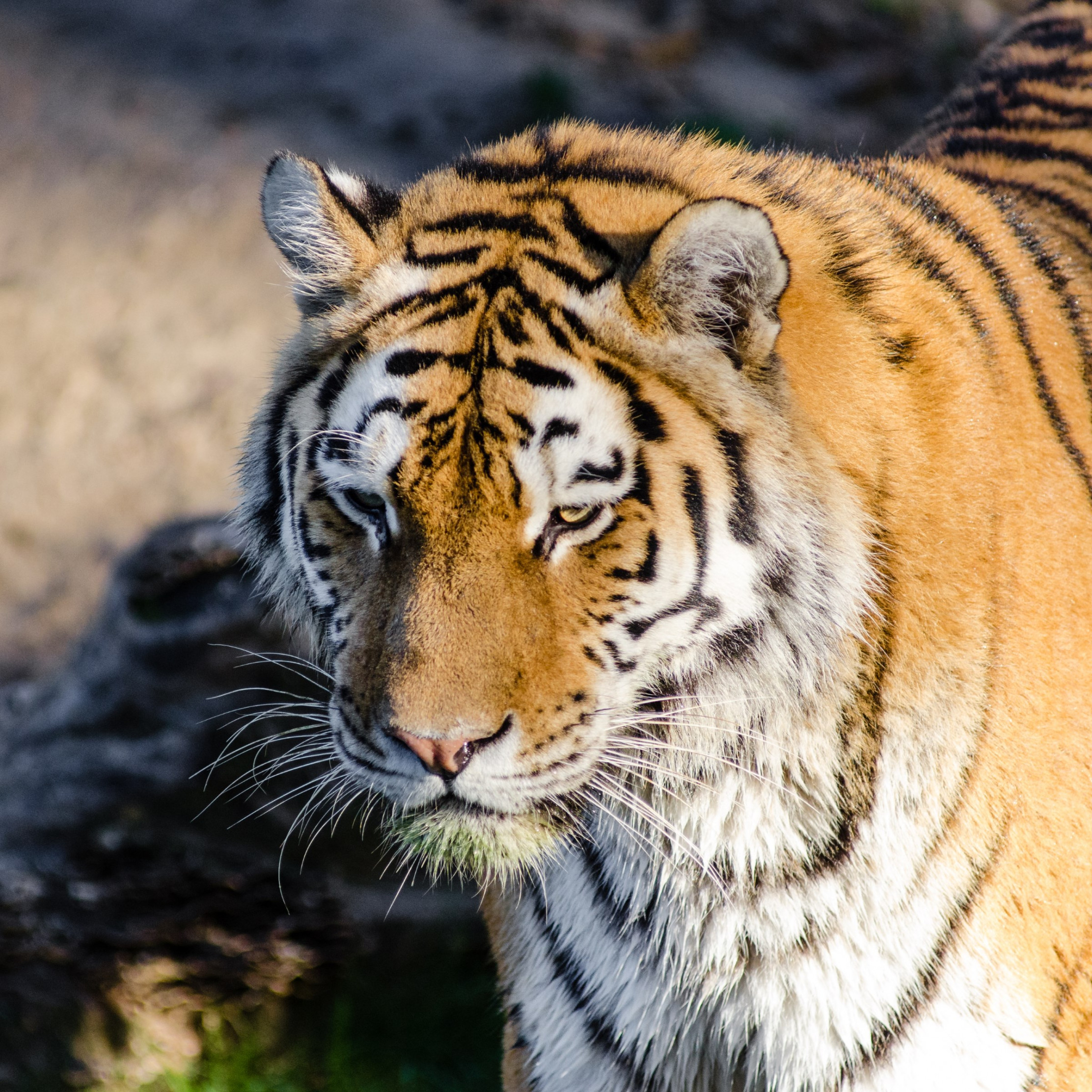 Siberian tiger at Zoo wallpaper 2224x2224