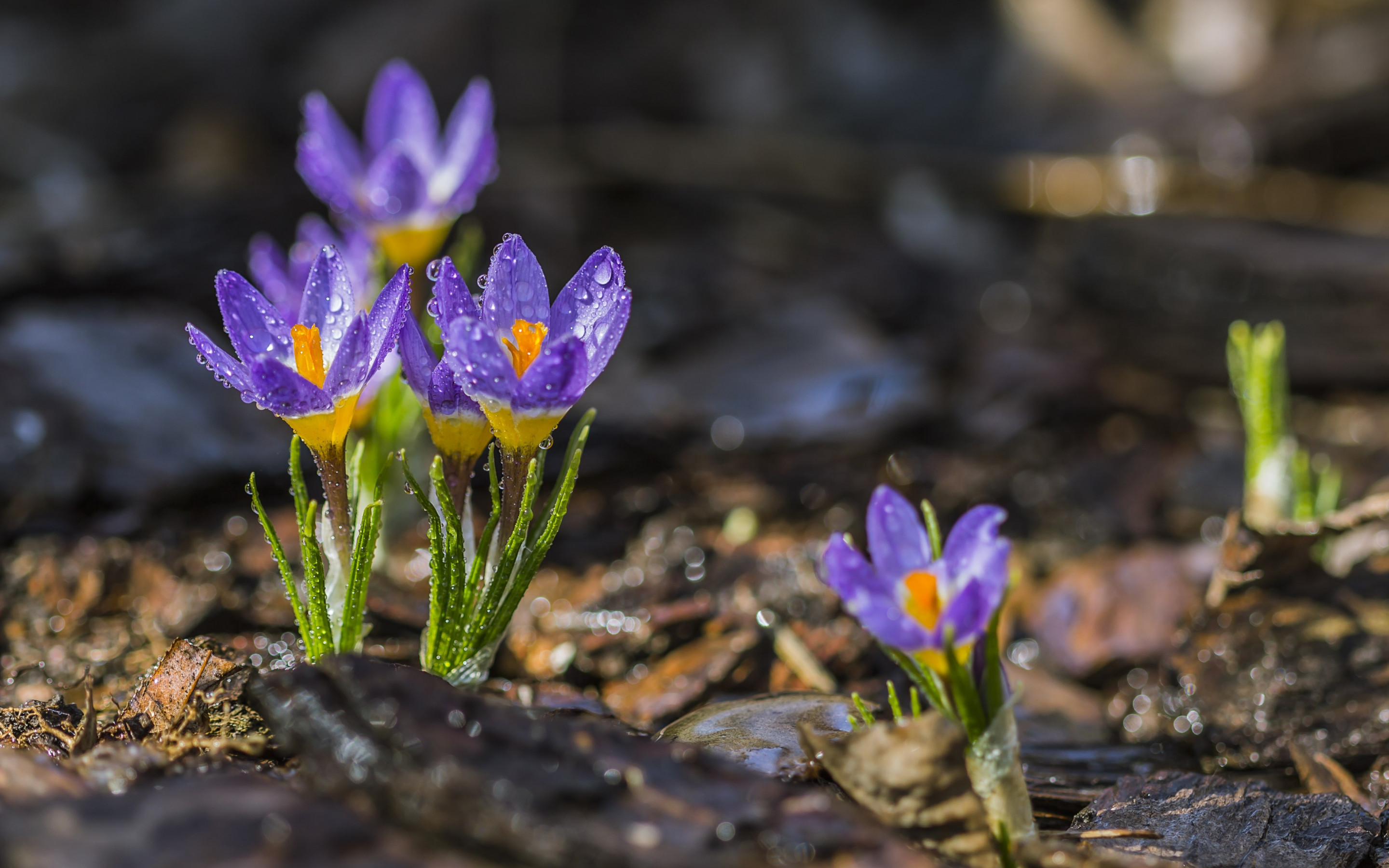 Spring crocuses wallpaper 2880x1800