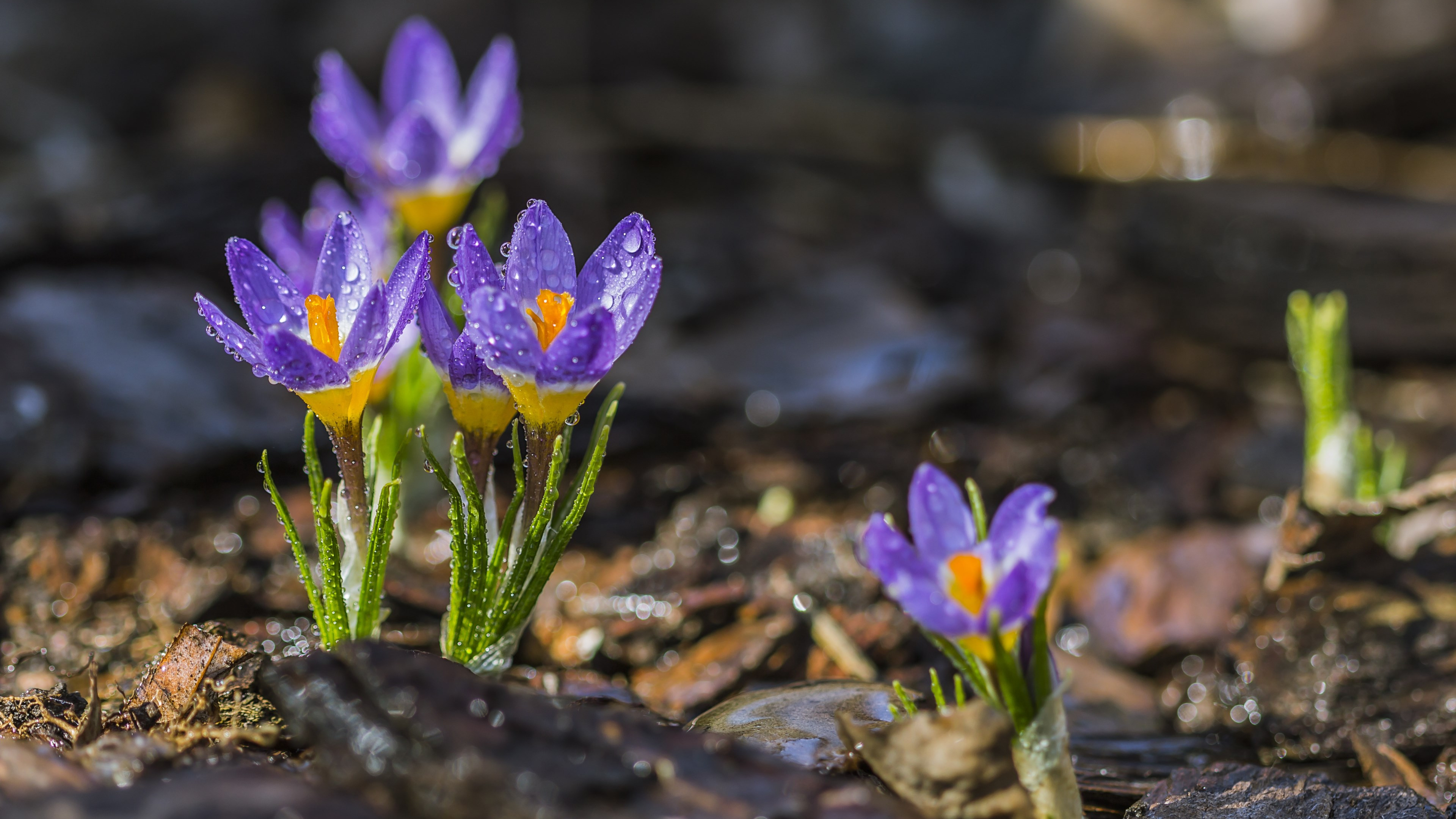 Spring crocuses wallpaper 3840x2160