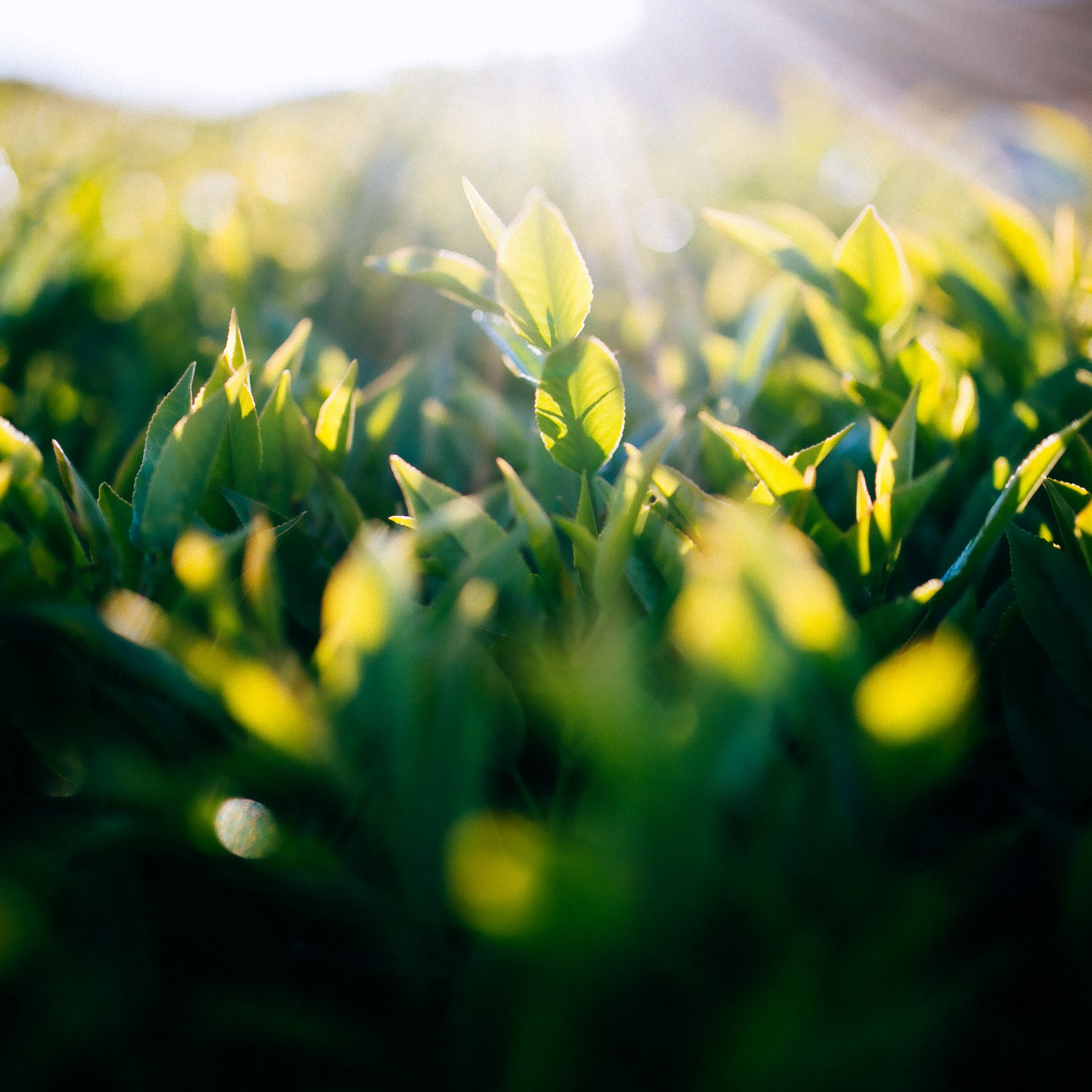 Sun light between green leaves | 2224x2224 wallpaper