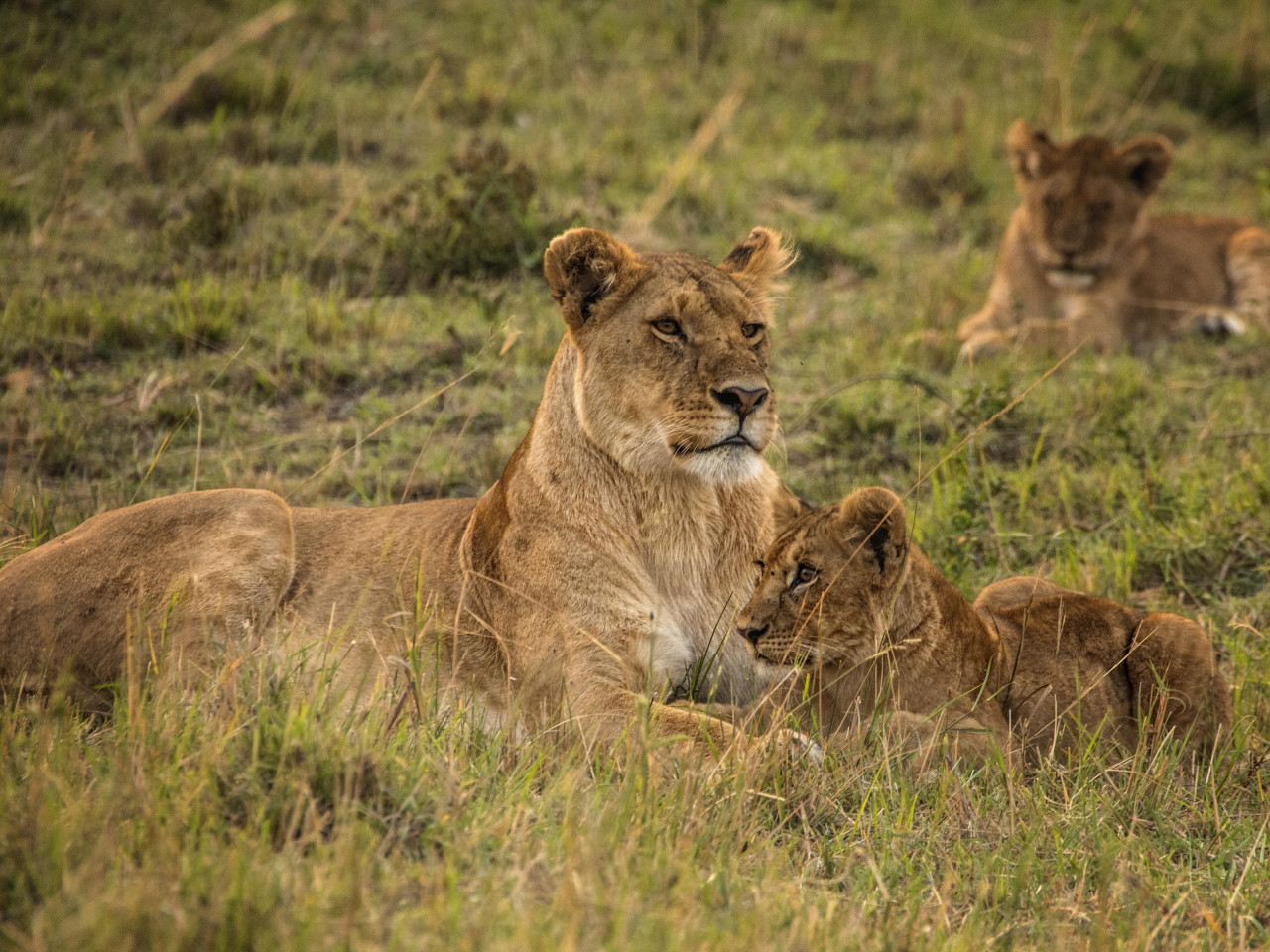 Lioness with cubs from Serengeti wallpaper 1280x960