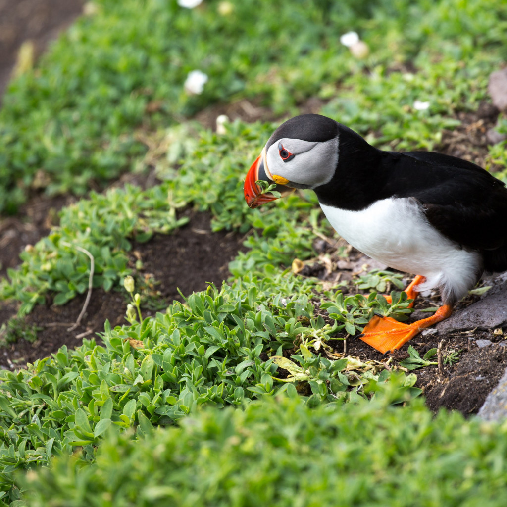 Puffin in Ireland wallpaper 1024x1024