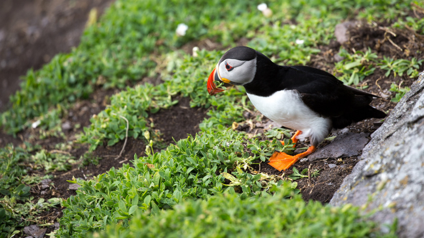 Puffin in Ireland wallpaper 1366x768