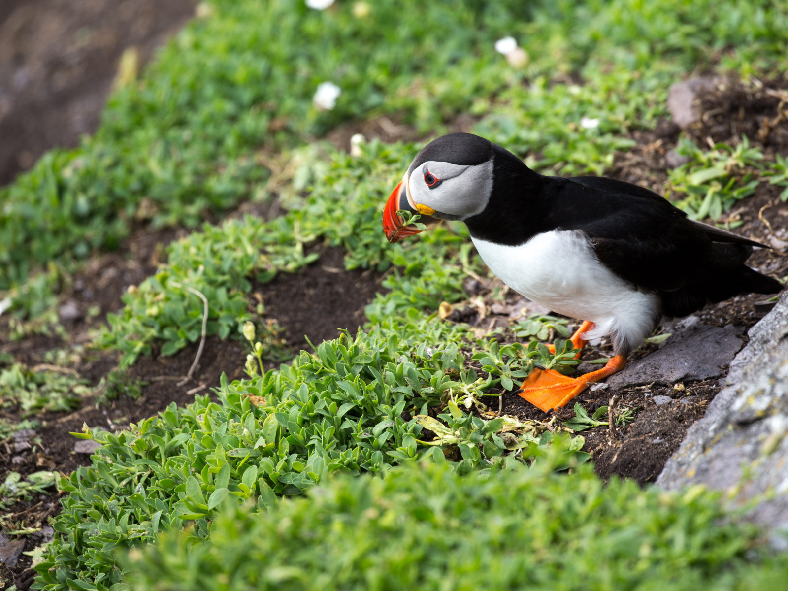 Puffin in Ireland wallpaper 1600x1200