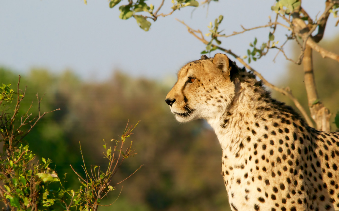 Cheetah in Ngamiland East, Botswana wallpaper 1280x800