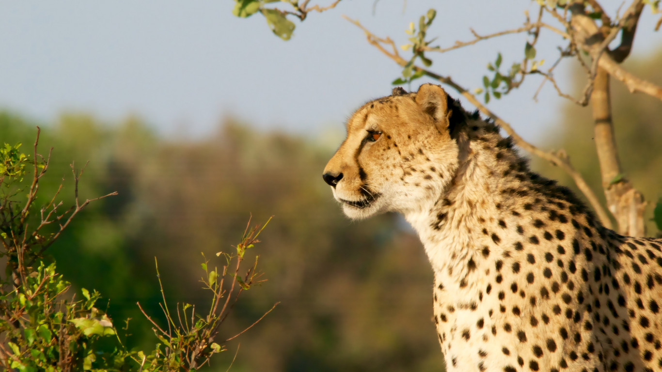 Cheetah in Ngamiland East, Botswana wallpaper 1366x768