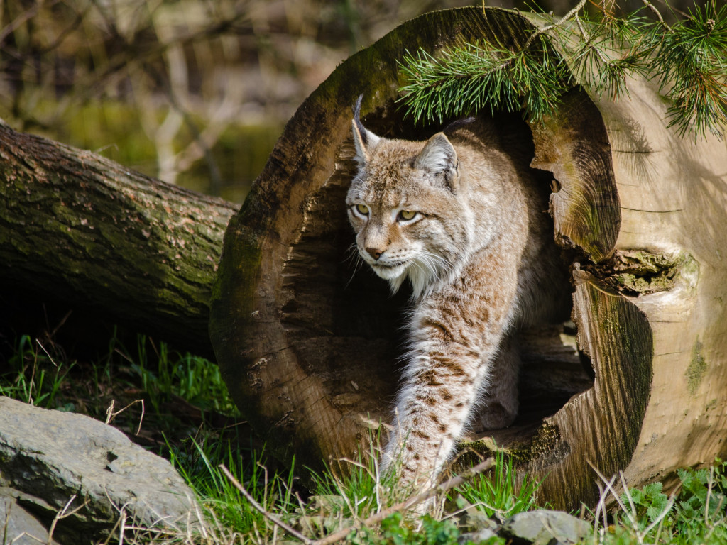 Lynx at the Zoo wallpaper 1024x768