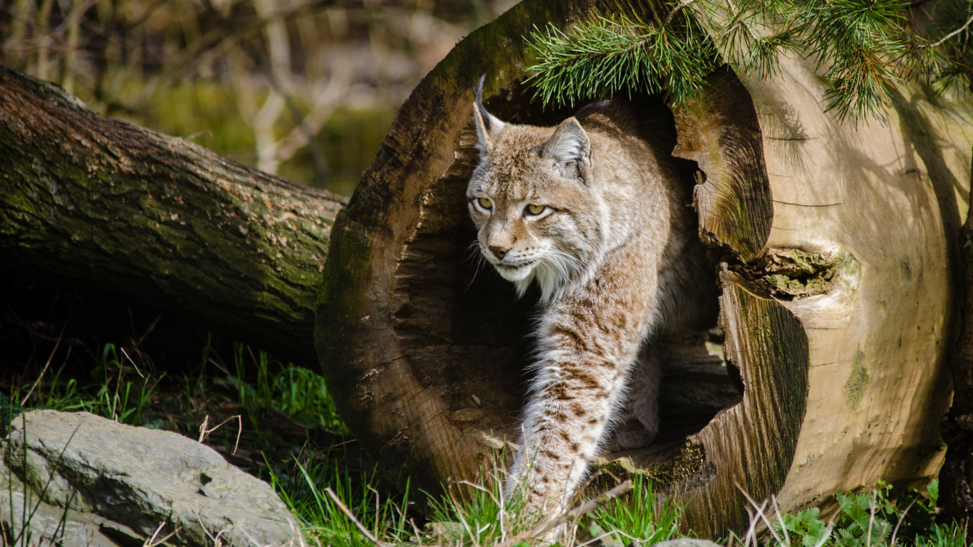 Lynx at the Zoo wallpaper 1366x768
