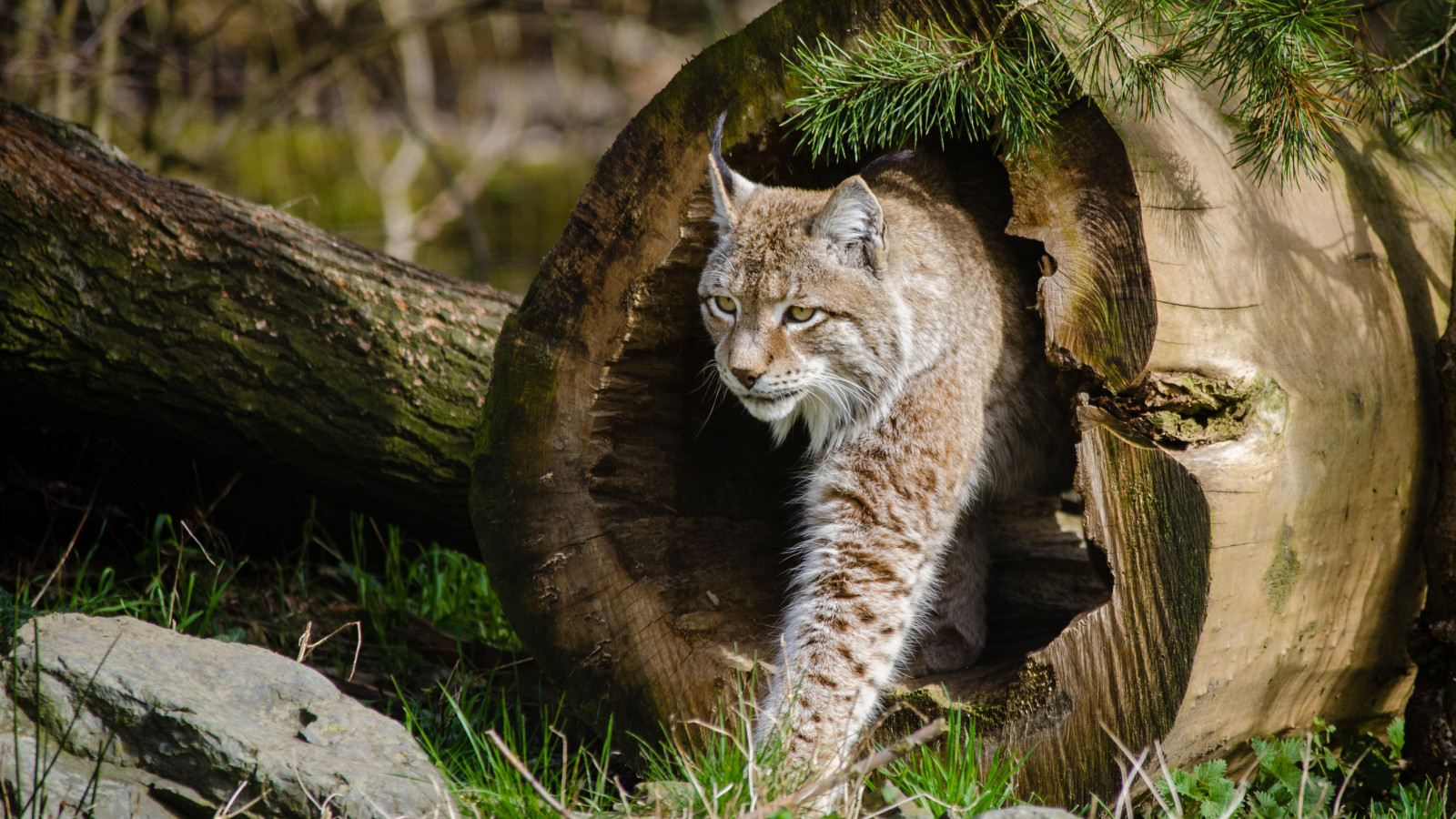 Lynx at the Zoo wallpaper 1600x900