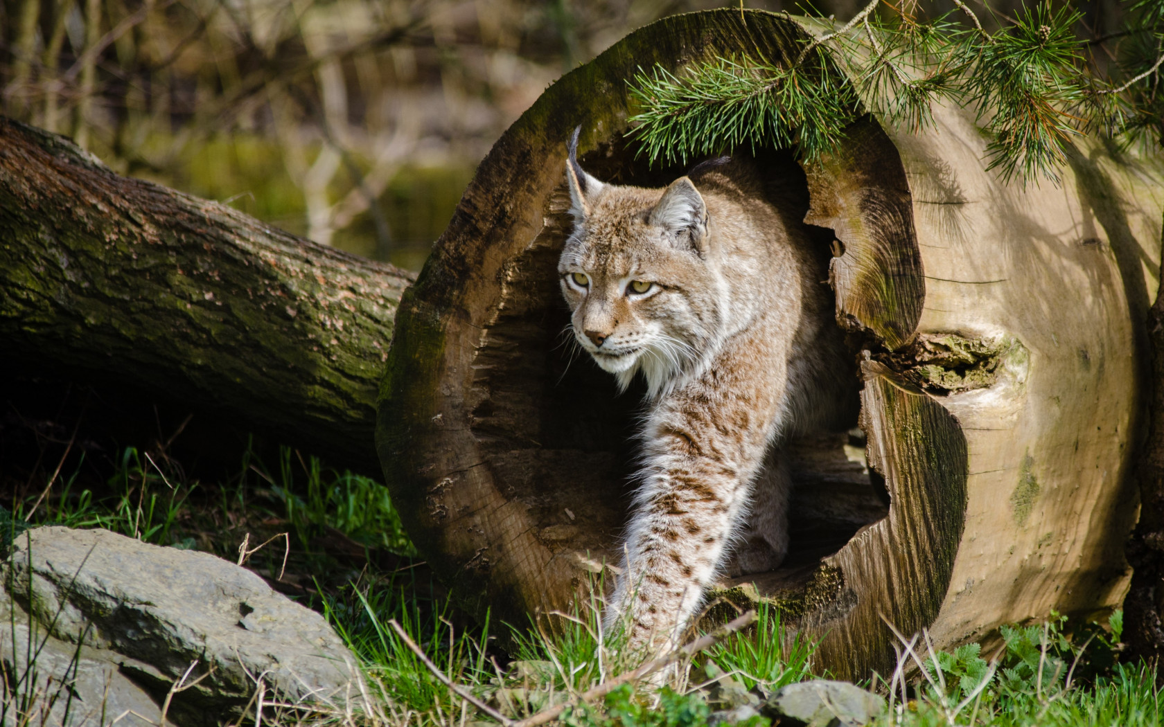 Lynx at the Zoo wallpaper 1680x1050