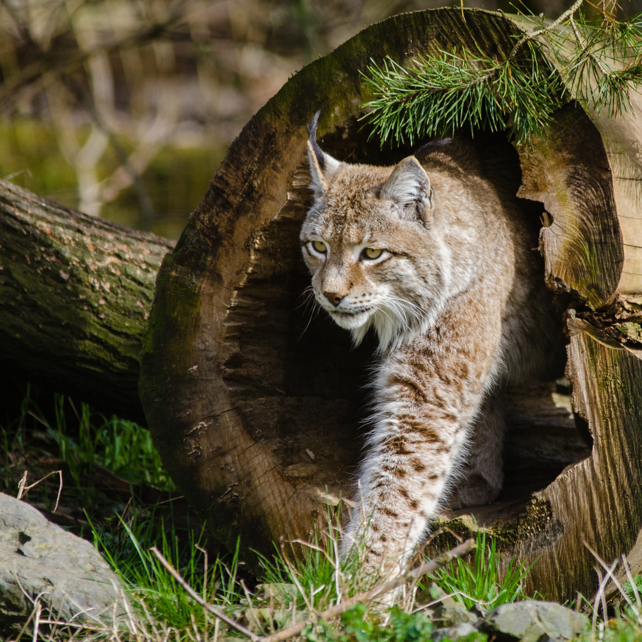 Lynx at the Zoo wallpaper 2224x2224