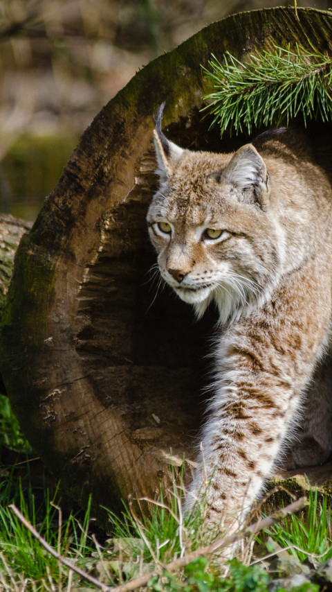Lynx at the Zoo wallpaper 480x854